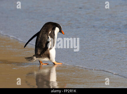 A gentoo penguin  (Pygoscelis papua) enter the sea near its nesting colony on Saunders Island. Saunders Island, Falkland Islands
