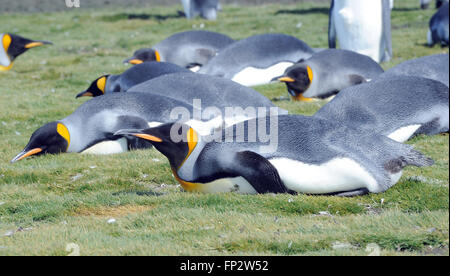 King penguins (Aptenodytes patagonicus) resting on the beach near  the breeding colony at Salisbury Plain. South - Stock Photo