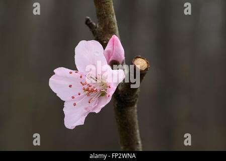 Nectarine fruit tree buds and flowers. Super Sweet / Sweet Pearl - Stock Photo