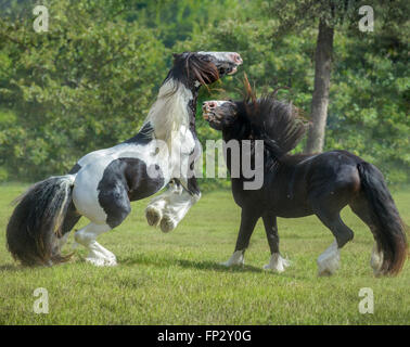 4 year old Gypsy Vanner Horse stallions rough house and play - Stock Photo