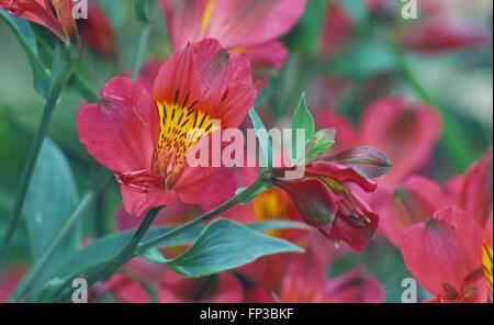 Alstroemeria aurantiaca (Chilean or Peruvian lily) - Stock Photo