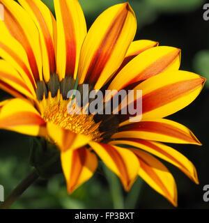 Gazania Yellow and Red - Stock Photo