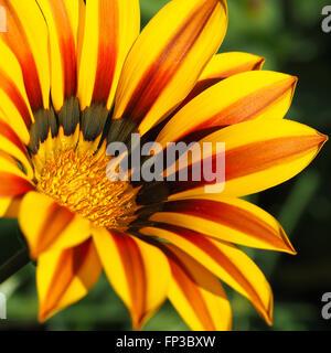 Gazania Flower Yellow and Red 2 - Stock Photo