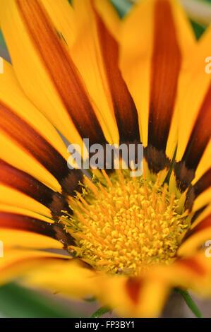 Gazania Flower Yellow and Red - Stock Photo