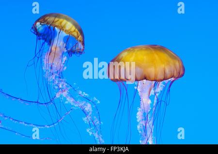 Sea Nettle jellies (Chrysaora fuscescens) in the Monterey Aquarium, California, USA - Stock Photo