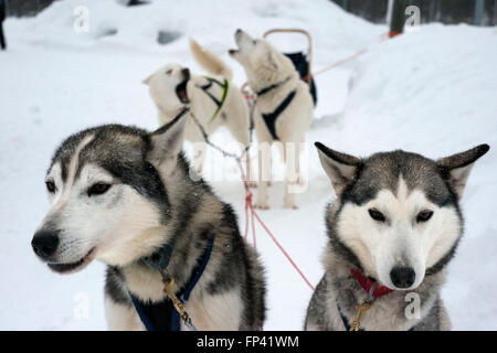 Salla husky safari. Lapland, Finland. Before the safari our guide will give you a driving lesson and tell you how - Stock Photo