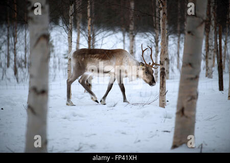 Reindeer farm in Salla, Lapland Finland. The reindeer is an icon of Finnish Lapland, and there's a good reason for - Stock Photo