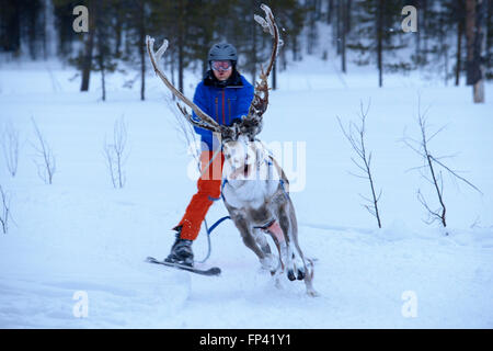 Salla ski resort. Skiing with reindeers. Salla, Lapland, Finland. Race. Winter means reindeer games in some of the - Stock Photo