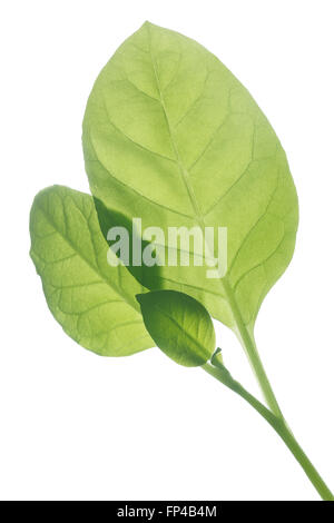 Backlit tobacco leaves (Nicotiana tabacum), Viriginia variety. Infinite depth of field, clipping path - Stock Photo