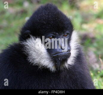 Portrait closeup of a male South East Asian Northern white cheeked gibbon (Nomascus leucogenys) - Stock Photo
