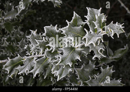 Close up detail of a holly bush with deep green spiky leaves covered in frost in the winter. - Stock Photo