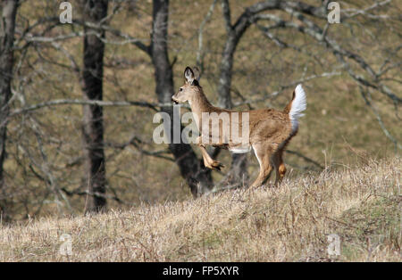White tailed deer running through field Kentucky - Stock Photo