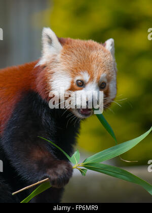 Red Panda eating the Leaves from Bamboo shoots - Eats shoots and leaves - Stock Photo