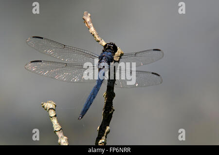 Dragonfly sitting on a twig over pond. - Stock Photo