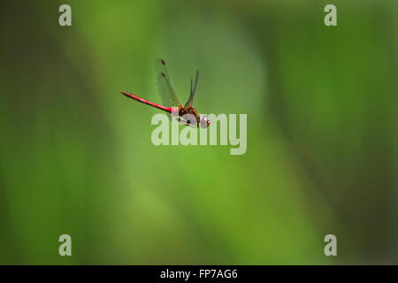 Ruby meadowhawk dragonfly flying on green background. Stock Photo