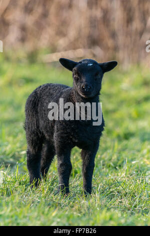 Individual black lamb in Springtime standing in a field Llangynidr, Wales. March - Stock Photo