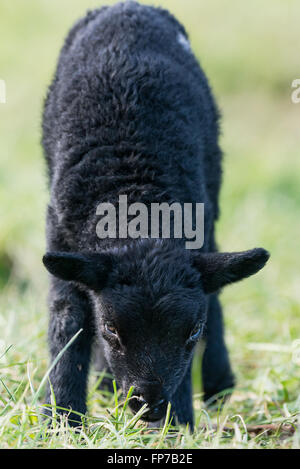 Individual black lamb in a field staring directly at the camera. Llangynidr, Wales. March - Stock Photo