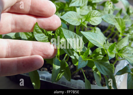Seedlings on the vegetable tray. - Stock Photo