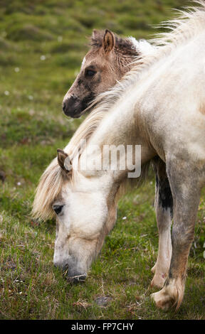 Icelandic horse and colt grazing on the ground. Vertical format - Stock Photo