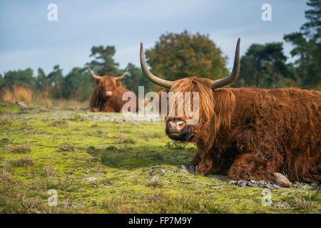 Highland Cattles / Schottische Hochlandrinder ( Bos primigenius taurus ) lying on the ground in typical surrounding. - Stock Photo
