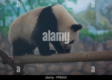 Full Length Of Panda Walking On Log In Zoo - Stock Photo