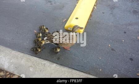 Mallard Duck And Ducklings Family Street - Stock Photo