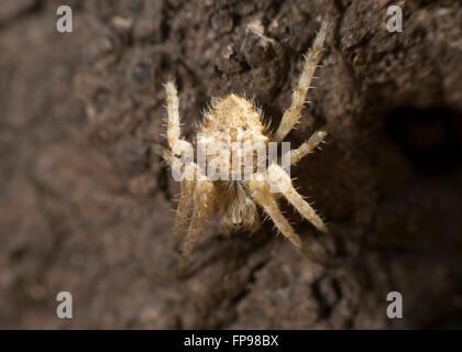 Orb-weaving Spider (Eriophora sp.), Western Australia, Australia - Stock Photo