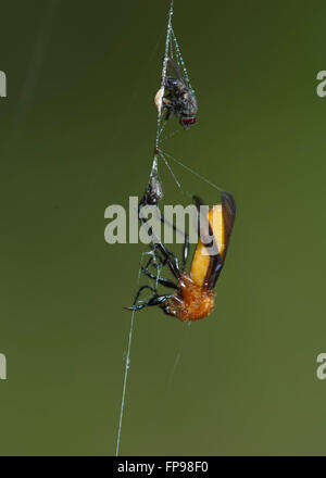 Spider larder - Common Vinegar Fly or Ferment Fly (Drosophila melanogaster), Western Australia, Australia - Stock Photo