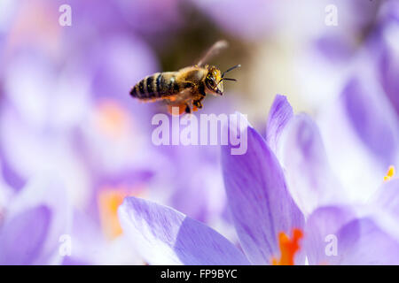 Close up Bee flying above crocus flowers - Stock Photo