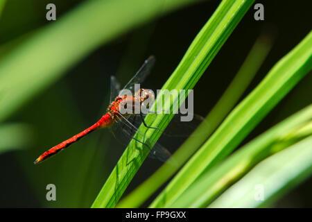 Ruby meadowhawk dragonfly (Sympetrum rubicondulum) closeup on grass - Stock Photo