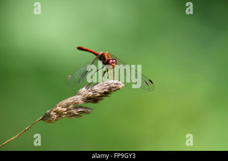 Ruby meadowhawk dragonfly close up Stock Photo