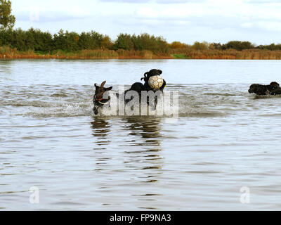 Service dogs playing in water with ball - Stock Photo