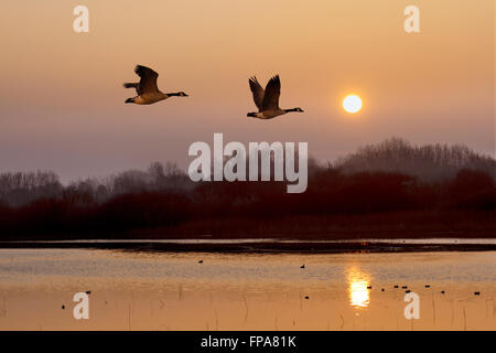 Wildlife pond at Southport, Merseyside, UK 18th March, 2016.  Foggy UK Weather.  Migratory Geese take to the skies - Stock Photo