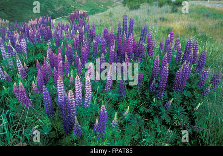 GARDEN BED OF PURPLE LUPINUS POLYPHYLLUS (LUPINS) - Stock Photo