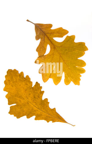 Autumn oak leaves on white background with copy space - Stock Photo