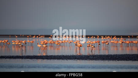 Flamingos standing in the shallows on still lake - Stock Photo