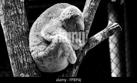 Sleeping koala black and white - Stock Photo