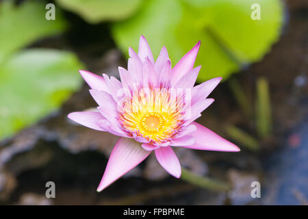 Pretty fresh pink lotus flower growing in a calm pond above the floating green lily pads - Stock Photo