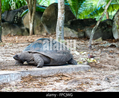 Close up Old Giant Aldabra Tortoise with Dried Leaves at Mahe Island, Seychelles. - Stock Photo