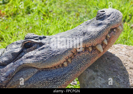 American Alligator (Alligator mississippiensis). Head, jaws, teeth. Head resting on a large stone, on land. - Stock Photo