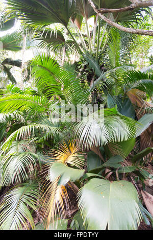 Tropical palm trees in Valle de Mai National Park on Praslin Island , Seychelles, a UNESCO world heritage site - Stock Photo