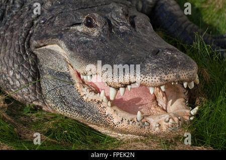 American Alligator (Alligator mississippiensis). Head, jaws, teeth. Basking on land Mouth open to cool internal - Stock Photo