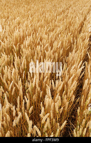 Rows of ripened wheat (triticum aestivum) growing in a field - Stock Photo