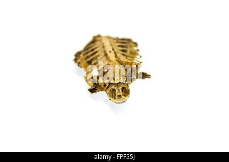 Baby turtle skeleton; Southbridge, Massachusetts. - Stock Photo
