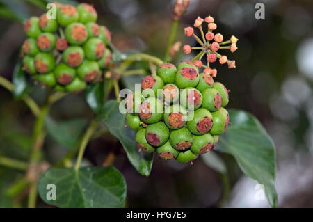 Green unripe fruit on ivy (Hedera helix) a source of winter food for wildlife, Devon, February - Stock Photo