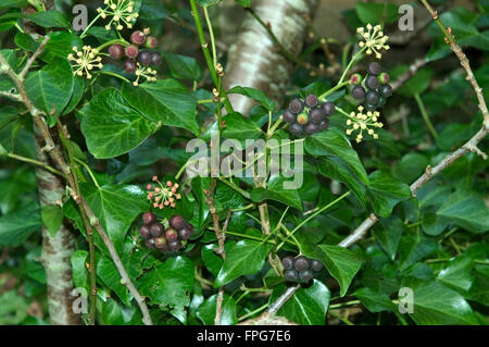 Ripe dark red fruit on ivy (Hedera helix) a source of winter food for wildlife, Devon, February - Stock Photo