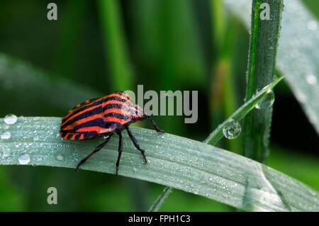 Italian striped-bug / Minstrel bug / Harlequin bug (Graphosoma lineatum / Graphosoma italicum) in grassland - Stock Photo