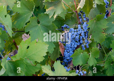 Early morning in a vineyard, Clare Valley, South Australia - Stock Photo