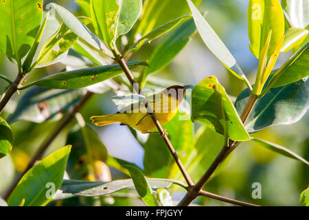 Yellow Warbler  Setophaga petechia erithachorides San Blas, Nayarit, Mexico 20 January       Adult male        Parulidae - Stock Photo