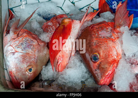 Brightly colored red snapper fish heads on ice; red snapper for sale at a fresh fish market or pescaderia in Sayulita, - Stock Photo